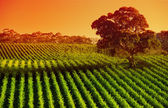 Afternoon Vines — Stock Photo