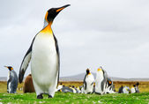 King Penguins — Stock Photo