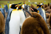 Baby King Penguin — Stock Photo