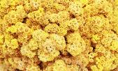 Wzór suszone kwiatuszki żółty — Zdjęcie stockowe