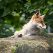 Red Fox (Vulpes vulpes) — Stock Photo #4677590