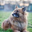 Stock Photo: Belgian Shepherd Dog
