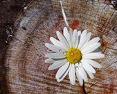 BACKGROUND WITH CAMOMILE — Stock Photo