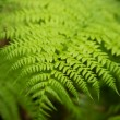 Close up of a green fern leafe — Stock Photo #4469170