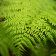 Stock Photo: Close up of green fern leafe