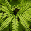 Close up of a green fern leafe — Stock Photo