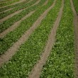 Agricultural Field — Stock Photo #4469946