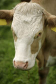 Head of a cow — Stockfoto