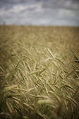 Wheat growing on a field — Stock Photo