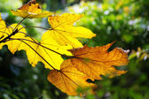 Yellow leafs in Autumn for background use — Stock Photo