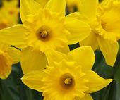 Beautiful spring daffodils — Stock Photo