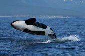 Killer whale breaching — Stock Photo