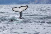 Killer whale tail — Stock Photo