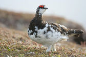 Rock ptarmigan — Stock Photo
