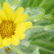 Flower of seaside ragwort — Stock Photo