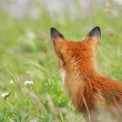 Fox in the meadow — Stock Photo