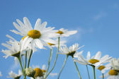 Daisies and blue sky on the background — Stock Photo