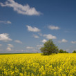 Yellow rape field and lonely tree — Stock Photo