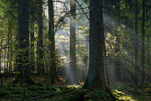 Sunbeam entering coniferous stand in autumnal morning — Stock Photo