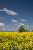 Pole żółty rzepak i samotne drzewo — Zdjęcie stockowe