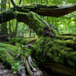 Stock Photo: Moss wrapped partly declined oak