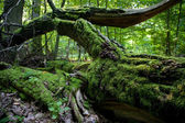 Moss wrapped partly declined oak — Stock Photo