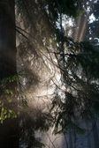 Morning sunlight shinnig through coniferous branches — Stock Photo