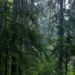 Shady rain after coniferous stand of Bialowieza Forest in summer — Stock Photo