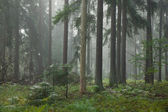 Coniferous stand in mist — Stock Photo
