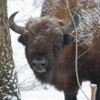 European bison bull in the Bialowieza Forest - Stock Photo