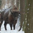 European Bison bull in winter - Stock Photo