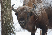 European bison bull in the Bialowieza Forest — Stock Photo