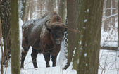 European Bison bull in winter — Stock Photo