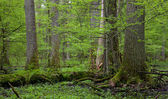 Group of giant oaks in natural forest — Stock Photo