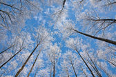 Alder tree crowns snow wrapped against blue sky — Stock Photo
