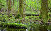 Springtime deciduous forest with standing water — Stock Photo