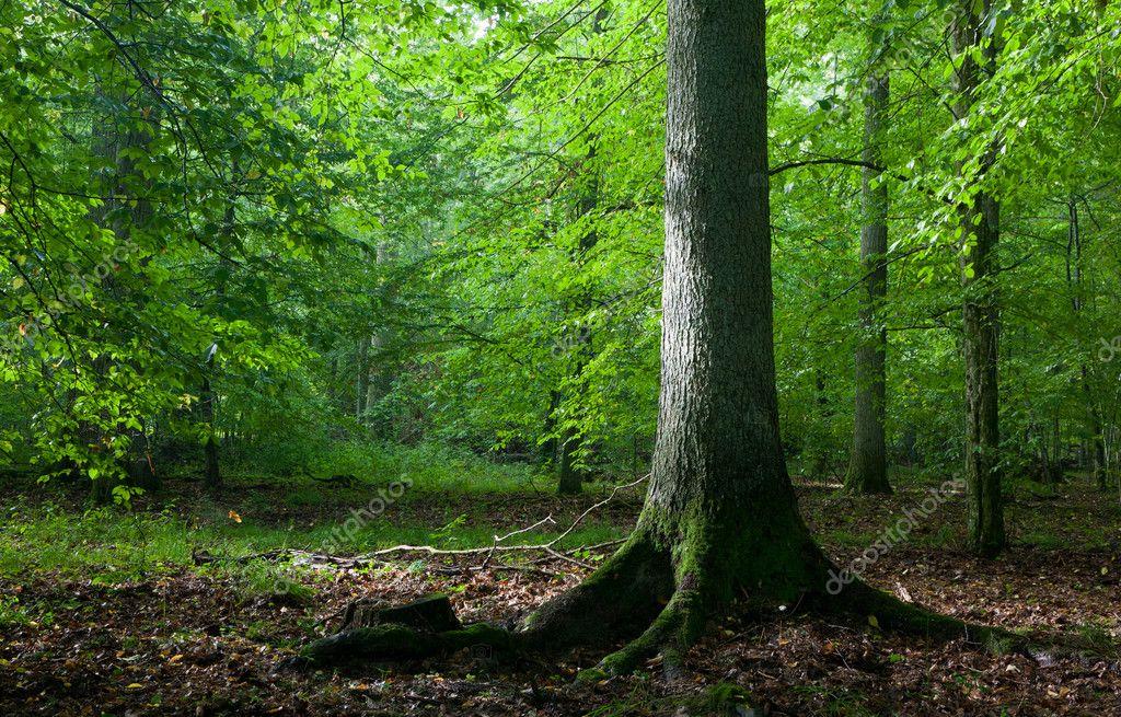 Фотообои Света, достигающего Мисти лиственные стенд с старый ель дерево