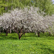 Blossoming apple-tree in garden — Stock Photo