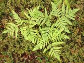 Green Ferns — Stock Photo
