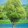 Isolated green summer tree - Stock Photo
