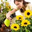 Gardening - woman sprinkling water on sunflower blossom — Stockfoto