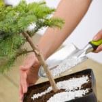 Gardening - female hands take care of bonsai tree — Stock Photo #4684841