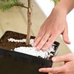 Gardening - female hands take care of bonsai tree — Stock Photo #4684843
