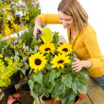 Gardening - woman sprinkling water to sunflowers — Stock Photo