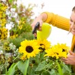 Gardening - woman sprinkling water to sunflowers - Stock Photo