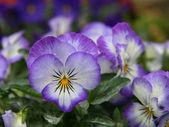 Flores viola — Foto de Stock