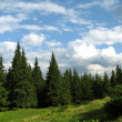 Coniferous forest in Carpathimountains — Stock Photo #5250003
