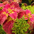 Background of Coleus — Stock Photo