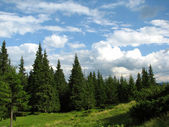 Coniferous forest in Carpathian mountains — Zdjęcie stockowe