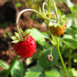 Wild strawberry — Stock Photo #5281513
